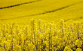 Yellow field with oil seed rape in early spring Royalty Free Stock Photo