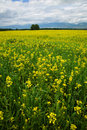 Yellow field of rape. Royalty Free Stock Images
