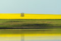 Yellow field a with rape and dam Royalty Free Stock Image