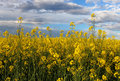 Yellow field - Rape Royalty Free Stock Photo