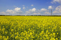 Yellow field rapeseed in bloom Stock Images