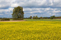 Yellow field rapeseed in bloom Stock Image
