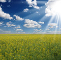 Yellow field rapeseed in bloom with blue sky and white clouds Stock Photography
