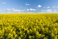 Yellow field rapeseed in bloom and cloudy sky Stock Photos