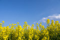 Yellow field rapeseed and blue sky Royalty Free Stock Image