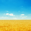 yellow field with ripe harvest and deep blue sky Royalty Free Stock Photo