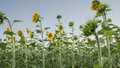 Yellow field of sunflowers in summer under blue sky Royalty Free Stock Photo
