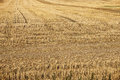 Yellow field tracks of tractor in a hay Royalty Free Stock Photo