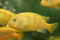 Yellow fish in an aquarium Stock Images