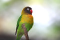Yellow fishers love bird close up shot of Royalty Free Stock Photo
