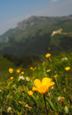 Yellow flower alpine summer flowers carpathians romania Royalty Free Stock Image