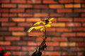Yellow flower on a background of a brick wall. Royalty Free Stock Photo