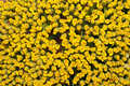 Yellow flower backgrounds Stock Image