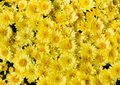 Yellow flower bed of asters aster flowers full frame Royalty Free Stock Photography