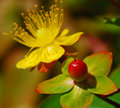 Yellow flower and berry red leaves Stock Images