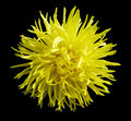 Yellow  flower, black  isolated background with clipping path. Closeup no shadows. Royalty Free Stock Photo