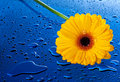 Yellow flower on blue surface Stock Photo