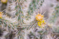 Yellow flower cactus Royalty Free Stock Photo