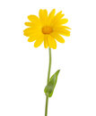 Yellow flower Calendula officinalis with leaves isolated on a white background Royalty Free Stock Photo