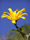 Yellow flower a cheing mai thailand Royalty Free Stock Images