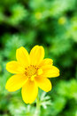 Yellow  flower in chiangmai province thailand. Royalty Free Stock Photo
