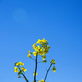 Yellow flower closeup of a rape seed at a cloudless bright blue sky Royalty Free Stock Image