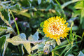 Yellow flower covered with snow Royalty Free Stock Photo