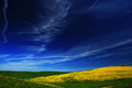 Yellow flower field with clear dark blue sky, Tuscany, Italy
