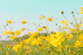 Yellow flower field meadow Royalty Free Stock Photo