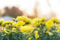 Yellow flower with flair Royalty Free Stock Photo
