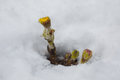 Yellow flower, flower in the snow, a flower growing out of the snow, spring comes Royalty Free Stock Photo