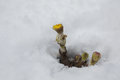 Yellow flower, flower in the snow, a flower growing out of the snow Royalty Free Stock Photo