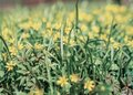 Yellow flower Gagea in the forest. beautiful spring forest flower. spring season. yellow flower goose bow on spring
