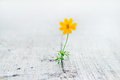 Yellow flower growing on crack street, soft focus Royalty Free Stock Photo
