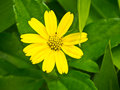 Yellow flower growing in the meadow Royalty Free Stock Photos