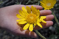 Yellow flower in a hand Royalty Free Stock Images