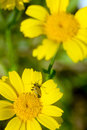 Yellow flower with insect on it closeup of a rare beautiful Royalty Free Stock Photos