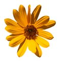 Yellow Flower Isolated Royalty Free Stock Photos