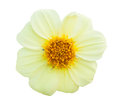 Yellow flower isolated Royalty Free Stock Photo