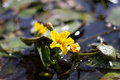 Yellow flower of lake plant Nymphoides peltata. Synonym Villarsia nymphaeoides Royalty Free Stock Photo