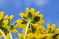 Yellow flower little yellow star blue sky Royalty Free Stock Photo