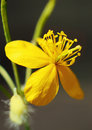 Yellow flower lone macro. Royalty Free Stock Photo