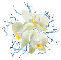 Yellow flower orchids and water splash isolated on white Royalty Free Stock Photos