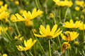 Yellow Flower Paquerette