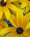 Yellow Flower Pedals Royalty Free Stock Photo