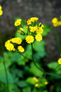 Yellow flower plant a stalk of flowers together Stock Photos