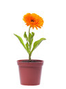 Yellow flower in a pot gerbera isolated on white background Royalty Free Stock Photo