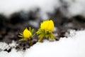 Yellow flower on soil, snow around Royalty Free Stock Photo