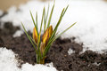 Yellow flower on soil snow around spring concept Royalty Free Stock Photography