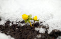 Yellow flower on soil snow around spring concept Stock Photo